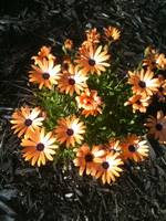 Orange Shasta Daisy
