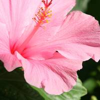 Pink Hibiscus SQ