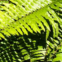 Fern Leaves SQ