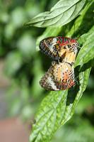 RWBOR Butterflies Mating