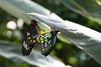 RWBY Butterflies Mating