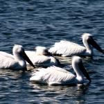 """""""White Pelicans"""" by lwbhoosier"""