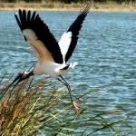"""""""Wood Stork/Crane"""" by lwbhoosier"""