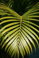 Palm Frawn Leaf