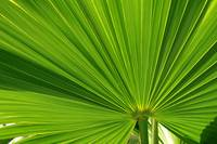 Fan Palm Leaf 2