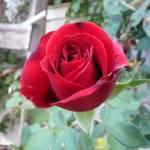 """Rose"" by GuardianAngel68"