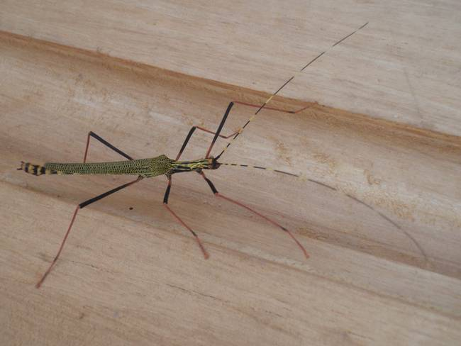 large green long legged insect by jari sulkimo. Black Bedroom Furniture Sets. Home Design Ideas