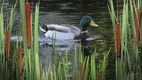 Mallard and Cattails