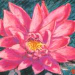 """Pink Water Lily"" by AbbieGroves"