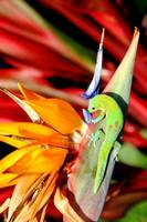 gecko drinking nector from bird of paradise