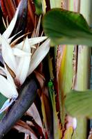 gecko white bird of paradise Hawaii