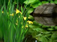 reflection yellow iris