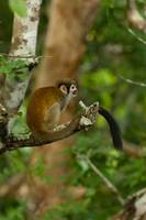 Squirrel Monkey (Saguinus sciureus)