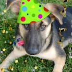 """Birthday Party Animal German Shepherd"" by crazyabouthercats"