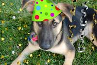 Birthday Party Animal German Shepherd