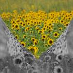 """Sunflower field"" by MarinaPhotography"