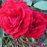 """Beautiful Rose"" by GuardianAngel68"