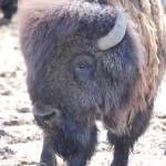 """""""Bison"""" by MelClairmont"""