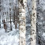 """Birch2"" by MelClairmont"