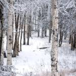 """""""Birch"""" by MelClairmont"""