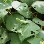 """""""Praying Mantis"""" by MelClairmont"""