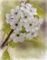 Ornamental Pear Blossom
