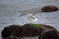 Montauk Point Gull