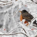 """Winter Robin"" by DGPhotographicArt"