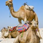"""Sahara camels"" by ChristopherByrd"