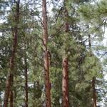 """Beauty in the Trees"" by GuardianAngel68"