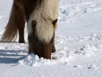 Iceland Horse in Snow