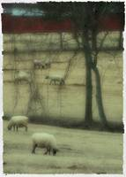 Sheep Grazing on a Winter Day--Polaroid Transfer