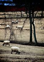 Sheep Grazing on a Winter Day
