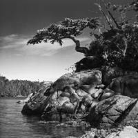 Shoreside Hemlock Tree