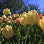 """""""Ottawa Tulips #7"""" by andreifilippov"""