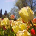 """""""Ottawa Tulips #6"""" by andreifilippov"""