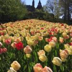 """""""Ottawa Tulips #5"""" by andreifilippov"""