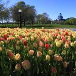 """""""Ottawa Tulips #4"""" by andreifilippov"""
