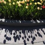 """""""Ottawa Tulips #1"""" by andreifilippov"""