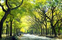 Central Park Tree lined walkway