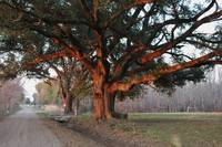 LOUISIANA SUNSET OAK           PHOTOGRAPH