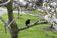 Blackbird waiting on Cherries