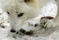 Arctic Fox, Close up