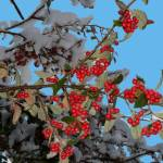 """Winter Berry"" by DaveDavies"