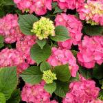 """Glowing Embers Hydrangea"" by SeriousFunStudios"