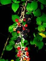 October Blackberries