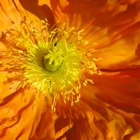 Orange Poppy    7927 Square Edition