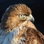 """""""hawk"""" by catherinelau"""