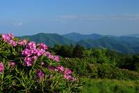 Roan Mountain Spring Rhododendron Carvers Gap, NC/