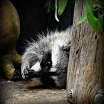 """""""Raccoon : """" oops, excuse me!"""""""" by CalamityJan08"""